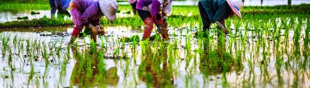 stock-photo-farmers-are-planting-rice-in-the-farm-148533944